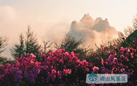 【明霞洞古杜鹃】|古树名花 - 青岛崂山风景区(天上