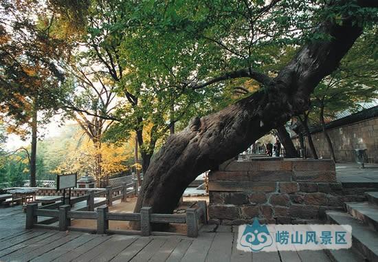 【太清宫糙叶树】|古树名花 - 青岛崂山风景区(天上