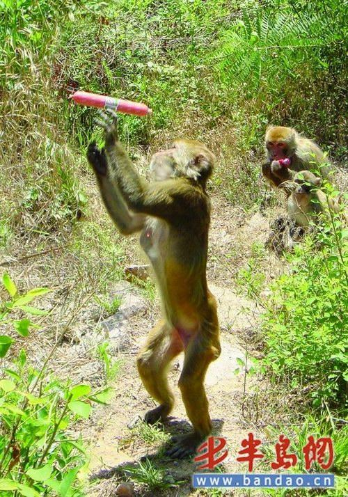 群猴现身崂山 - 青岛崂山风景区